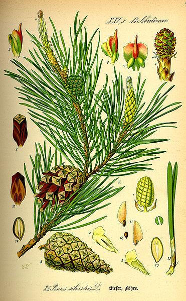 ilustrace borovice lesní
