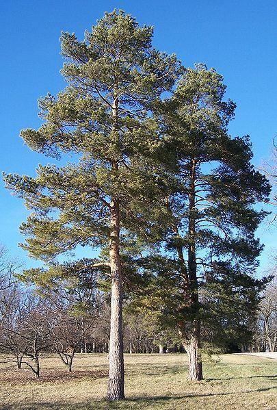 405px-Scots_pine_Morton.jpg