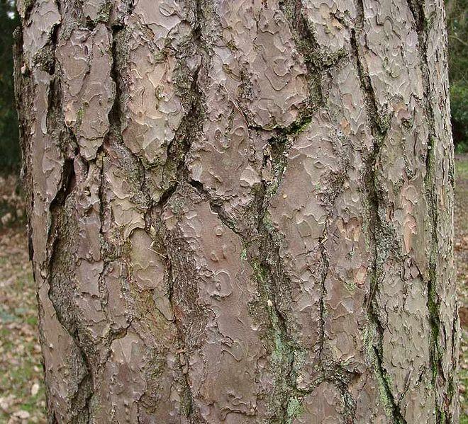 660px-PinusSylvestrisBole.jpg