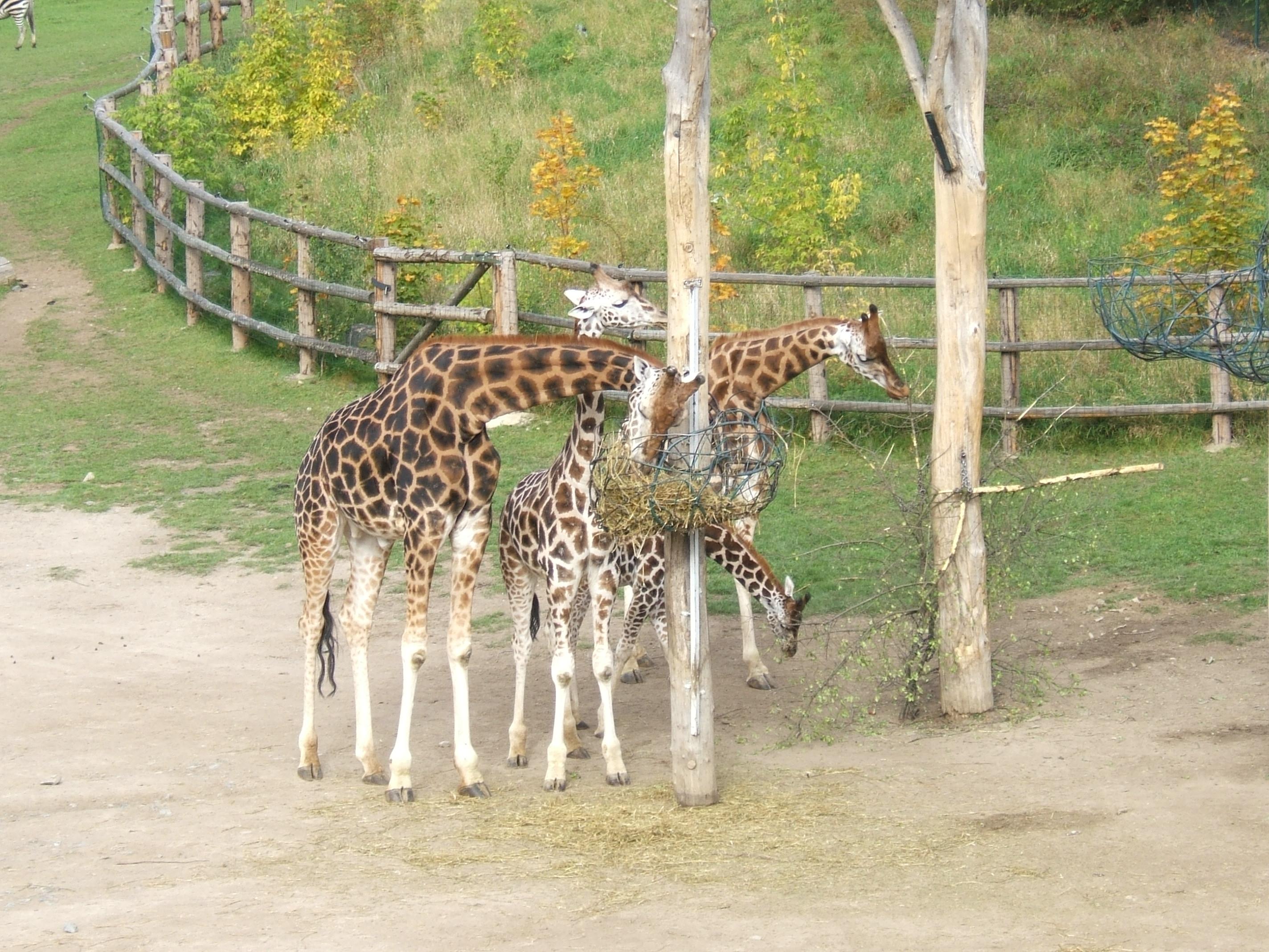 žirafy.jpg