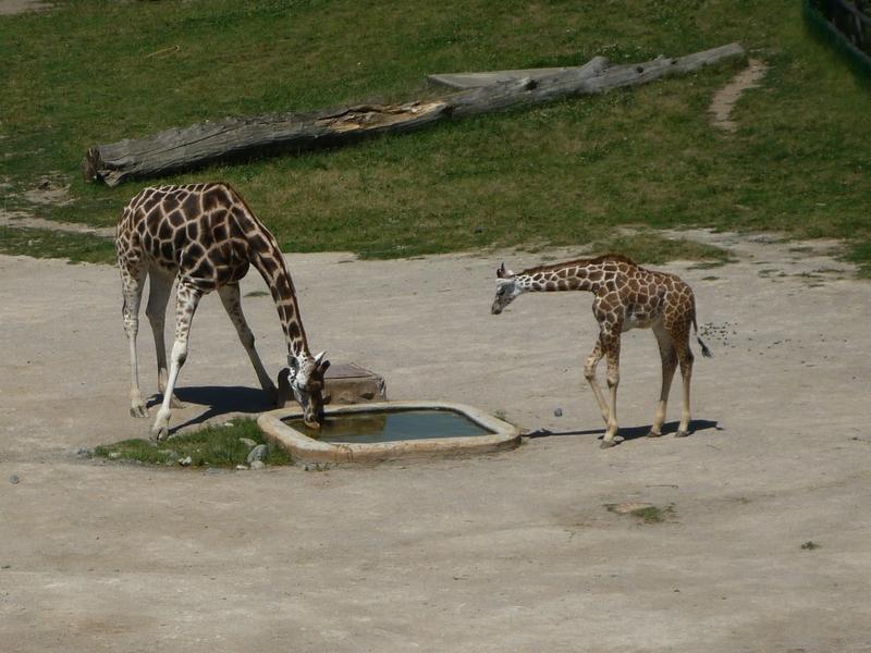 žirafy 2.jpg
