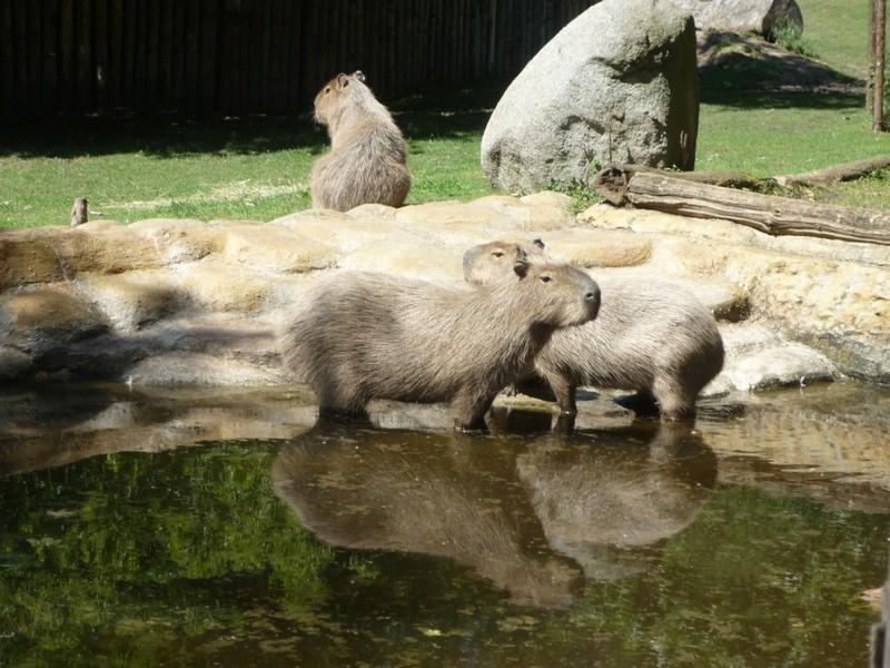 kapybara.jpg