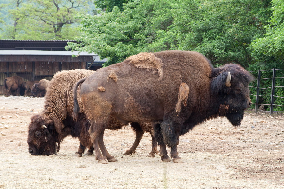 bizon.jpg