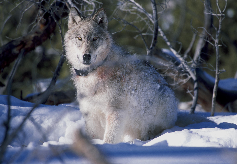 vlk2.jpg