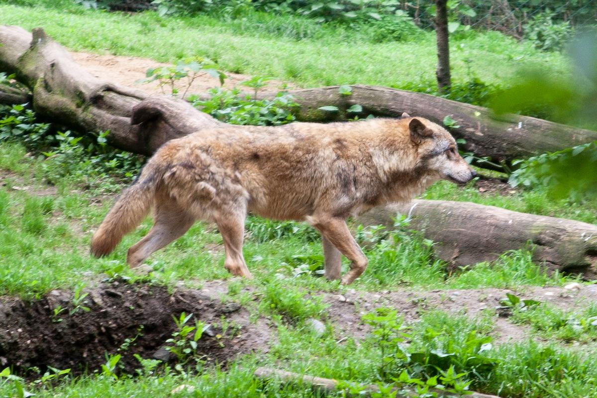vlk.jpg