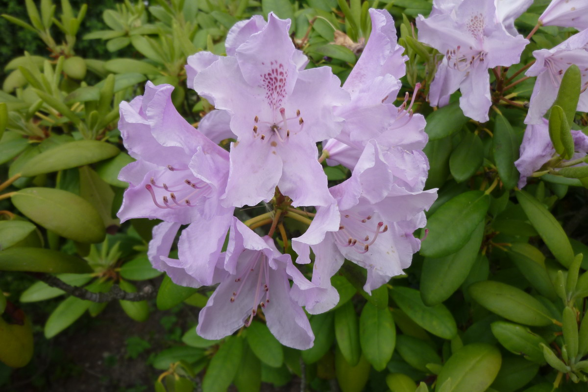 rododendron_kvet_3.JPG