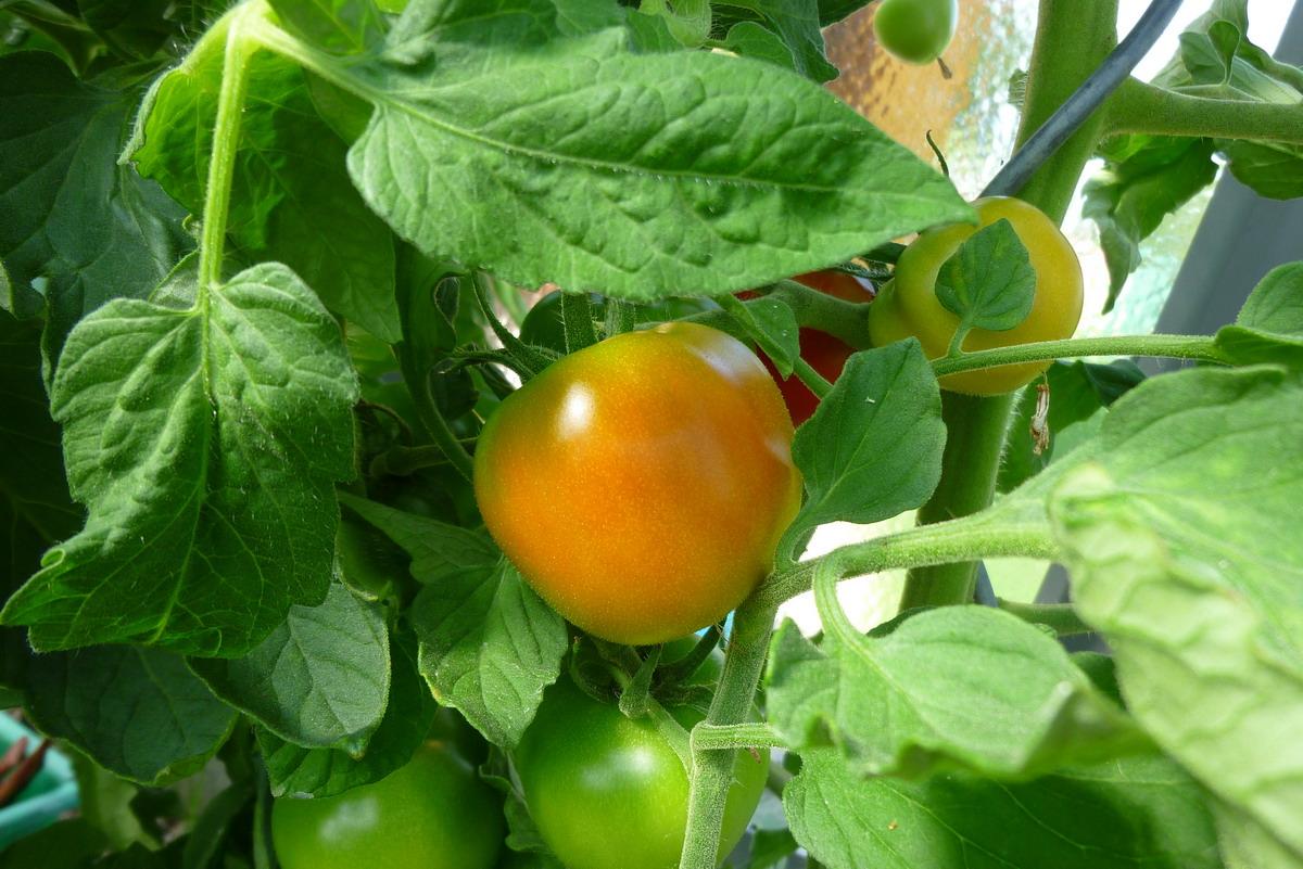 rajce_nezraly plod2.jpg