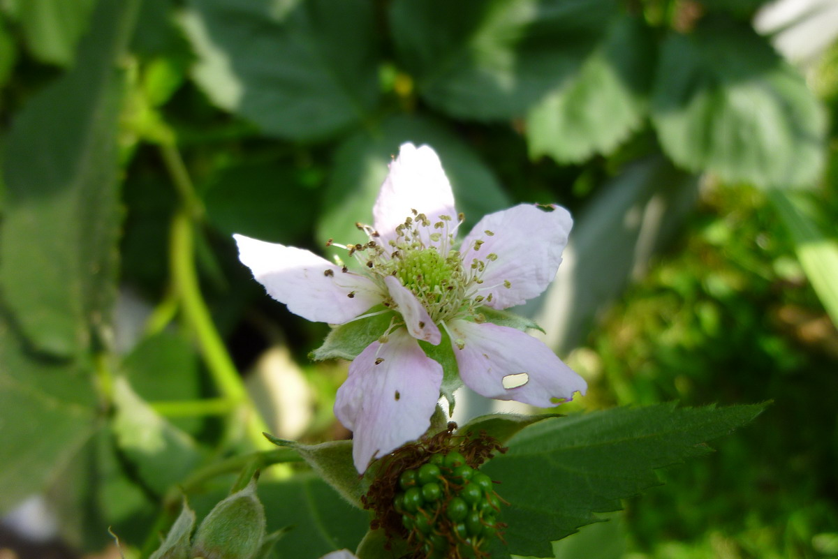 ostruzina_kvet.jpg