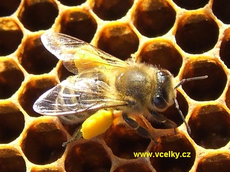Včela s pylovými rousky