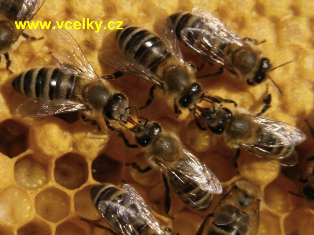 Včely si přdávají potravu