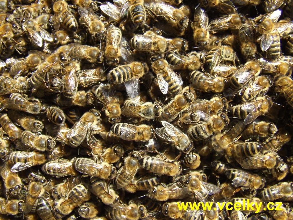 Chomáč včel na plástu