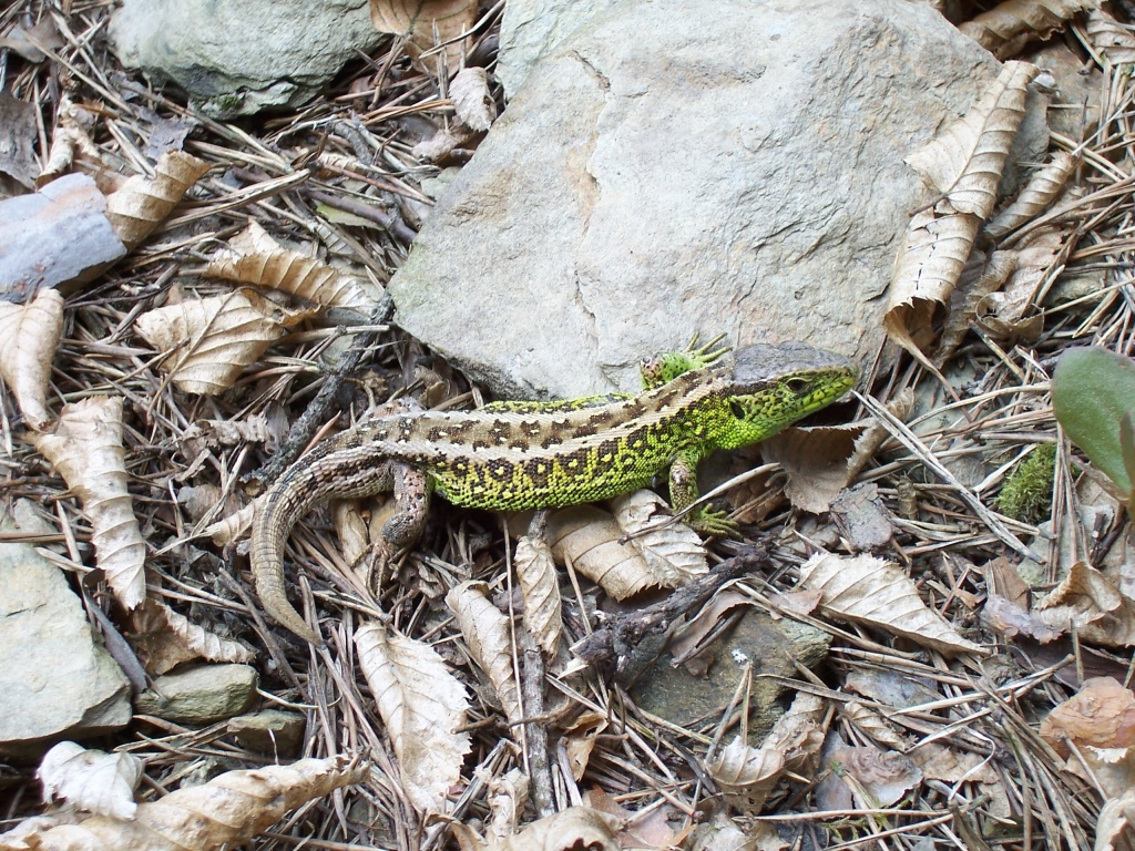 ještěrka obecná - samec