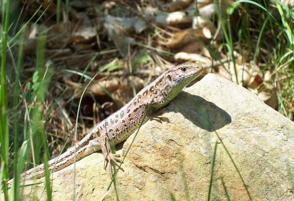 ještěrka obecná - samice