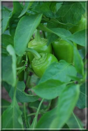 paprika-zelena.jpg