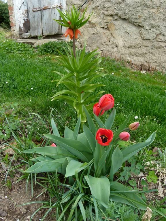 tulipány + řebčík