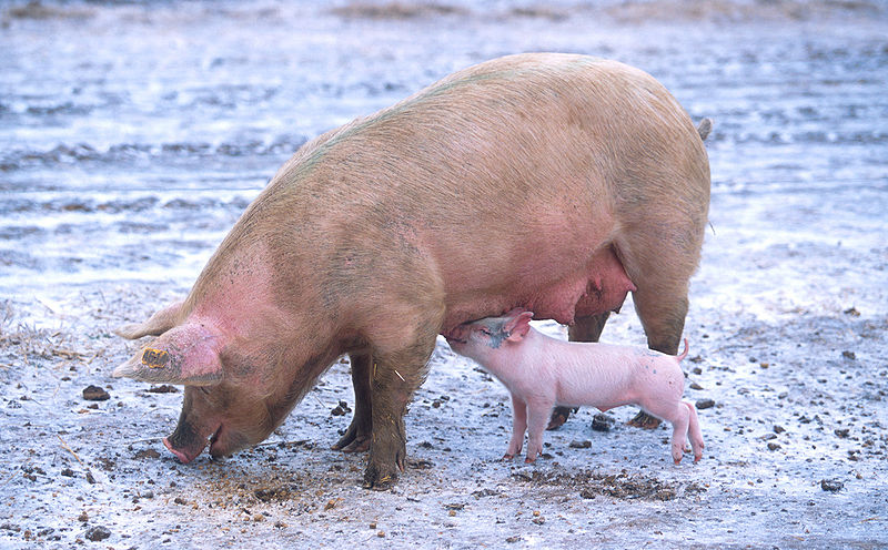 800px-sow-with-piglet.jpg