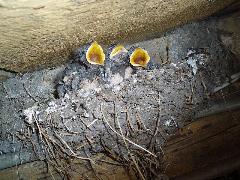 800px-nest-huiszwaluw.jpg
