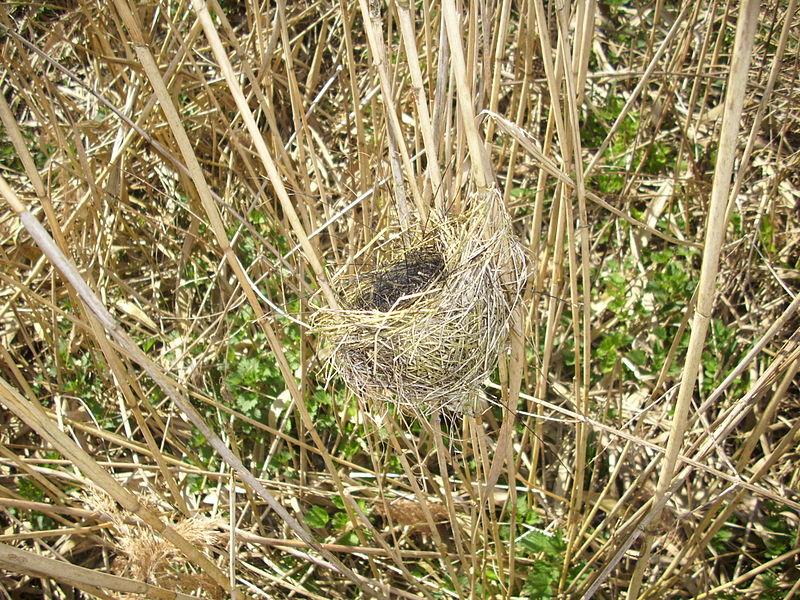 800px-nest-of-reed-warbler.jpg