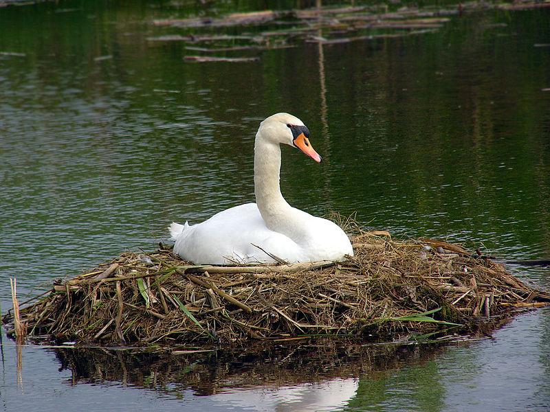 800px-cygnus-olor-nest.jpg