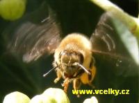 Plně vytížená včela za letu