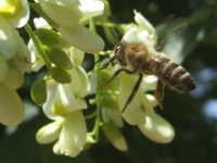 Včela nad jerlinem