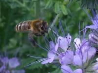 Svazenka včely láků