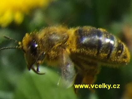 Včela z boku