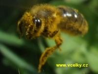 Rouskující včela