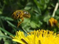 Včely nad pampeliškou