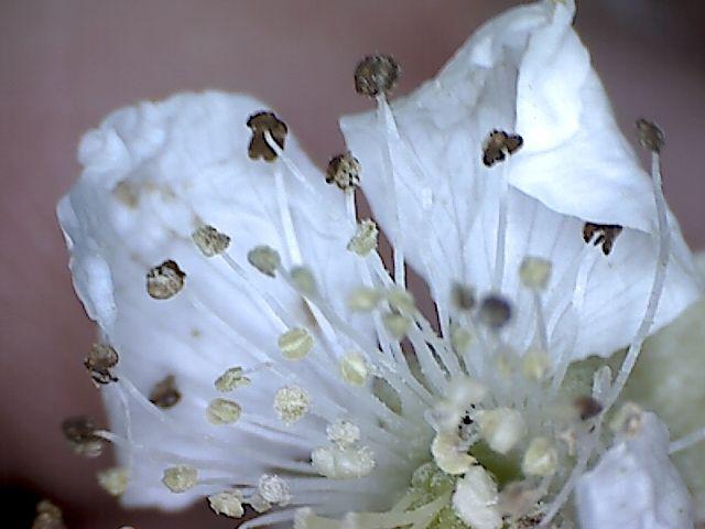 ostruzina-kvet-1.jpg