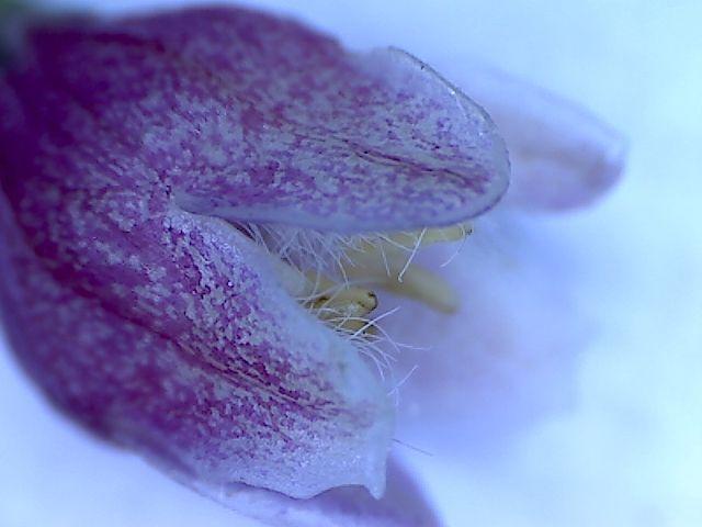 pamelnik-kvet-2.jpg