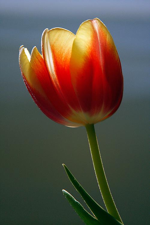 Tulipán v protisvětle