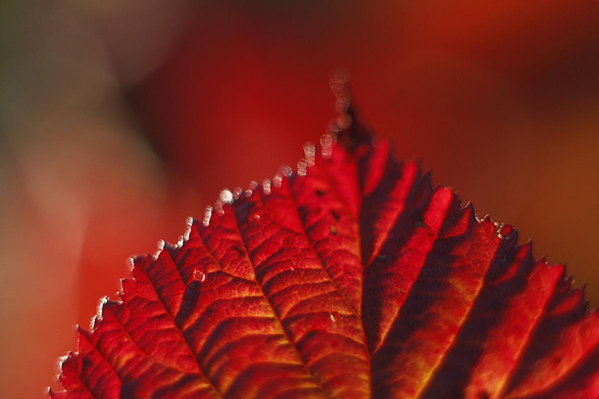 cerveny list