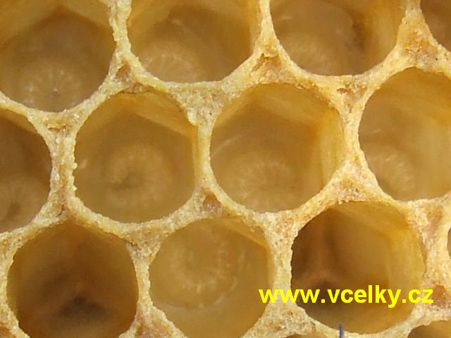 včelí larvička.jpg