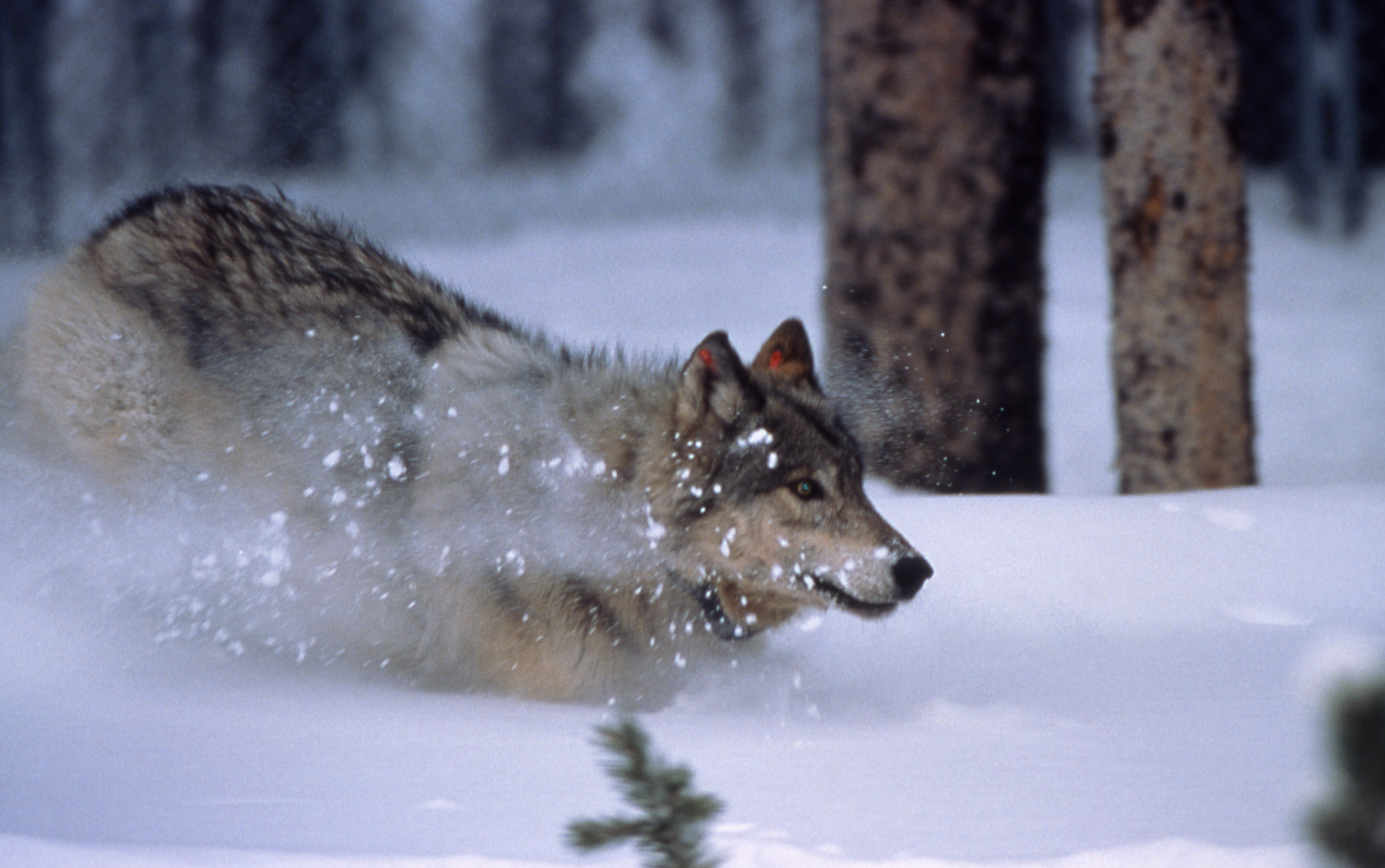 běžící vlk