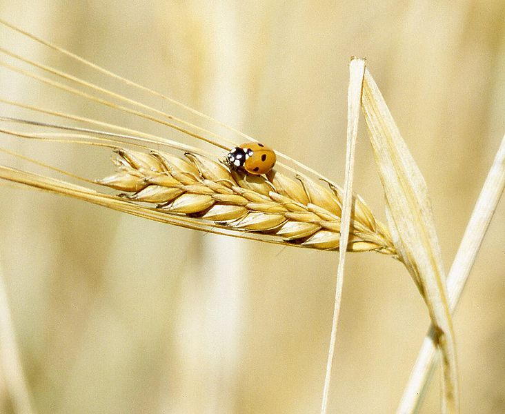 732px-A_lady_beetle_perches_on_barley.jpg