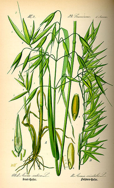 365px-Illustration_Avena_sativa0.jpg