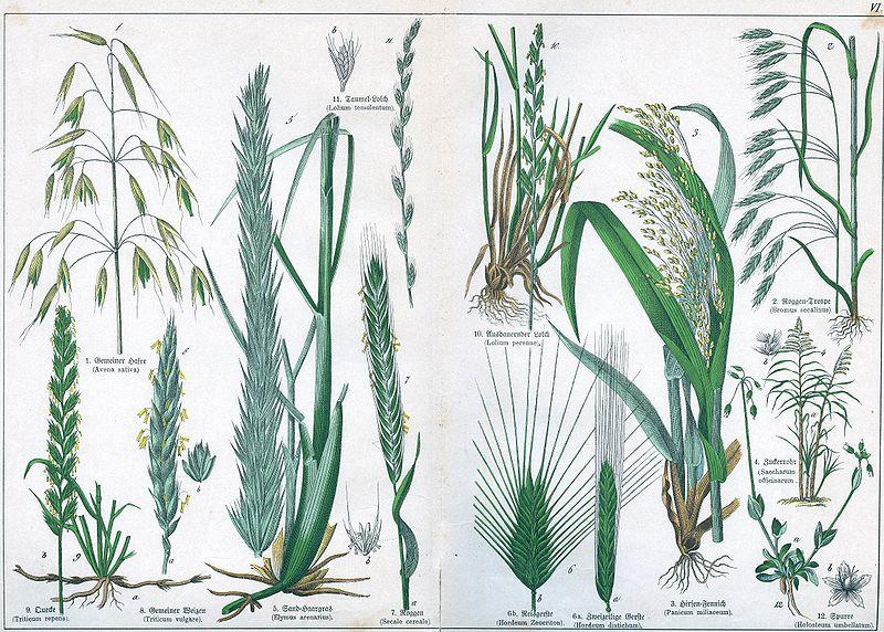 800px-Naturgeschichte_des_Pflanzenreichs_Tafel_VI.jpg
