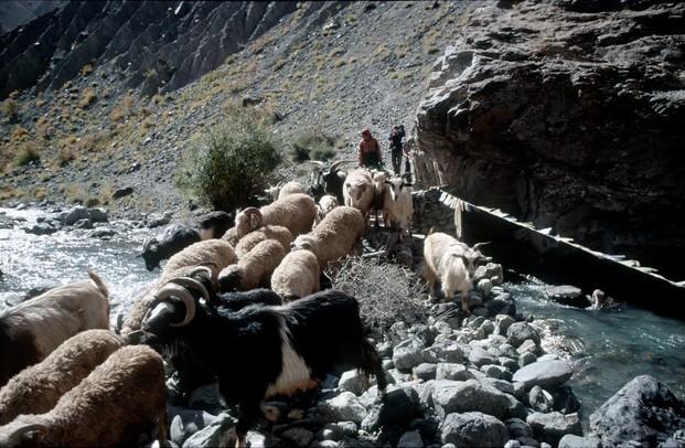 Zanskarské ovce