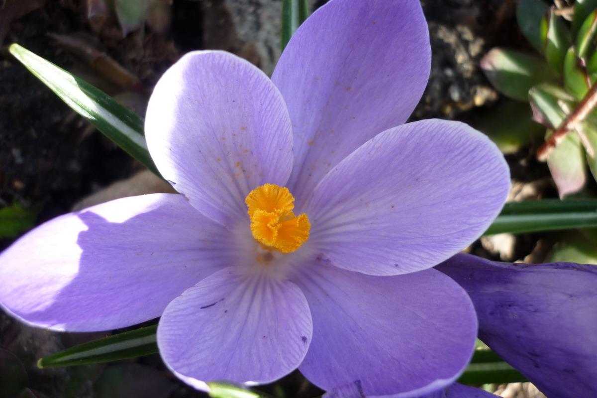 Šafrán - detail květu