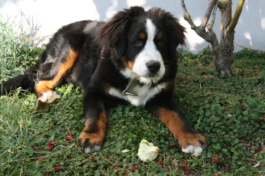 Bernsky salasnicky pes.JPG