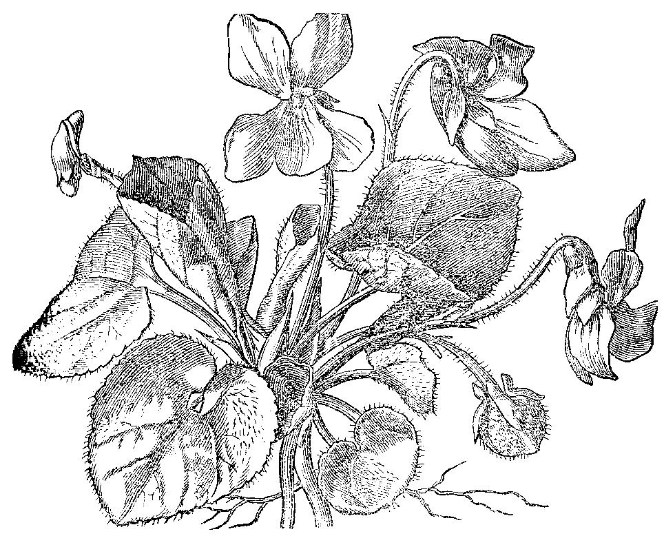 violka.png