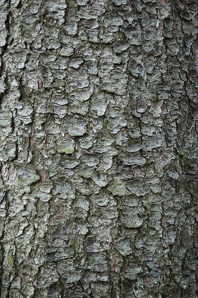 kůra starého stromu