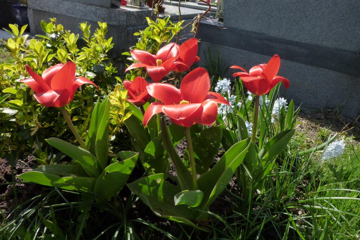 tulipan04.JPG
