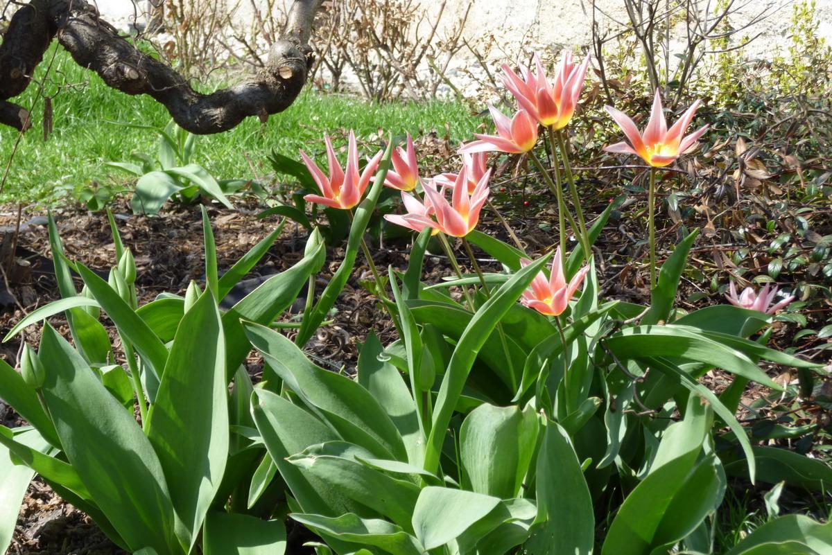 tulipan6.jpg