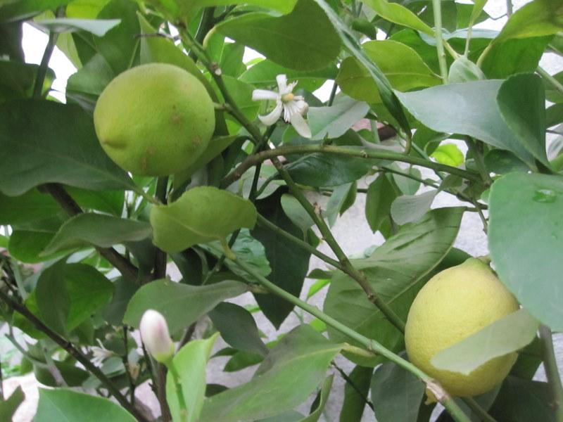citrus - plody