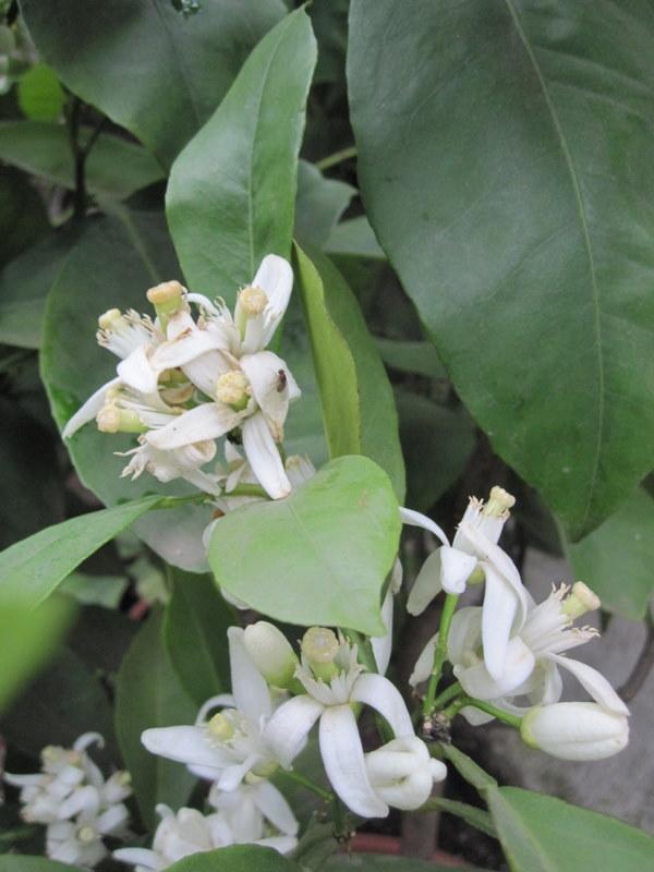 citrus - květy