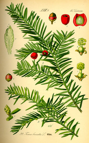 372px-Illustration_Taxus_baccata0.jpg