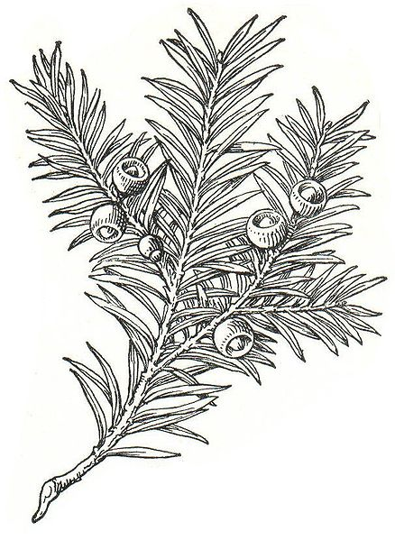 438px-Taxus_baccata_Meyers.jpg