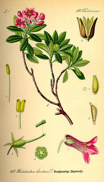 344px-Illustration_Rhododendron_hirsutum0.jpg